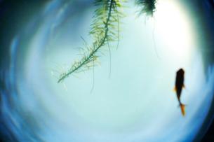 金魚鉢の中で泳ぐ金魚と藻の写真素材 [FYI01461592]