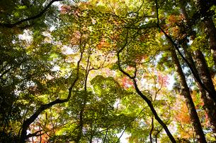 見上げた複数の紅葉した木の写真素材 [FYI01461781]