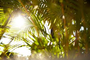 ヤシの木と夏の日差しの写真素材 [FYI01461822]
