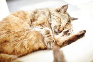 気持ち良さそうに眠る猫の写真素材 [FYI01461890]
