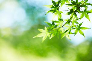 木漏れ日が当たったモミジの葉の写真素材 [FYI01462122]
