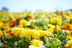 晴れた日のマリーゴールド畑の写真素材 [FYI01462188]
