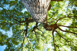 下から見上げたコナラの木の写真素材 [FYI01462308]