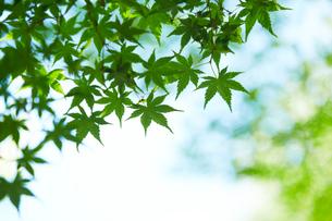 晴れた日の木影のモミジの写真素材 [FYI01462402]