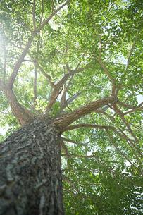 下から見上げたコナラの木の写真素材 [FYI01462539]