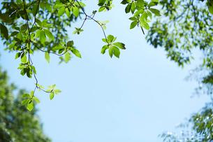見上げた森の木と空の写真素材 [FYI01462621]