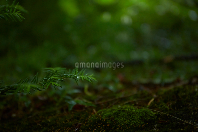 森の中のコケの写真素材 [FYI01462812]
