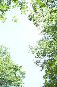 見上げた森の木と空の写真素材 [FYI01462814]