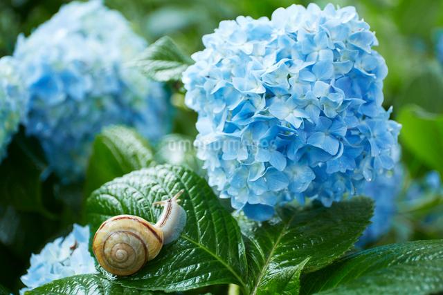 青い紫陽花とカタツムリの写真素材 [FYI01462870]