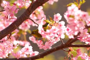 河津桜とメジロの写真素材 [FYI01462976]