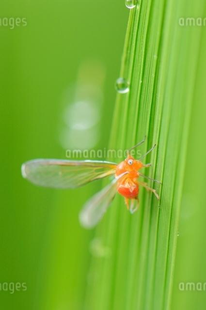 稲の葉に留まるアカハネナガウンカの写真素材 [FYI01463806]
