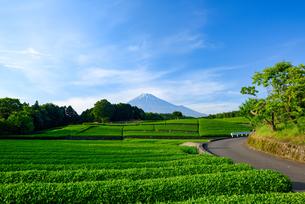 新茶畑と富士山の写真素材 [FYI01464112]