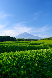 新茶畑と富士山の写真素材 [FYI01464445]