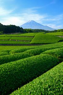 新茶畑と富士山の写真素材 [FYI01464463]