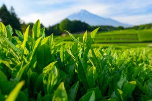 新茶畑と富士山の写真素材 [FYI01464544]
