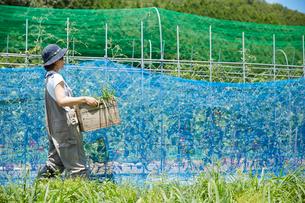 畑で木箱を持って歩く女性の写真素材 [FYI01464565]