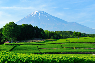 新茶畑と残雪の富士山の写真素材 [FYI01464574]