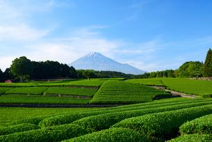 新茶畑と富士山の写真素材 [FYI01464860]