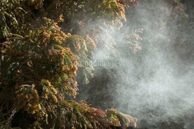 杉花粉の写真素材 [FYI01465882]