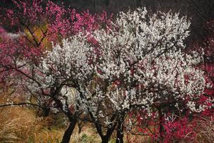 紅白の梅の写真素材 [FYI01466021]