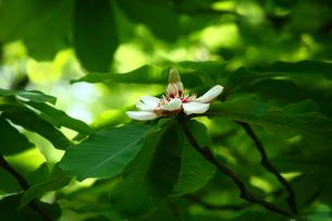 ホオノキの花の写真素材 [FYI01466041]