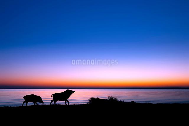 湖畔を散歩するイノシシのシルエットの写真素材 [FYI01466465]