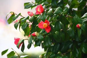薮椿の写真素材 [FYI01466944]