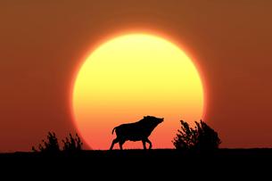 日の出とイノシシのシルエットのイラスト素材 [FYI01467270]