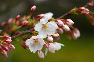 桜 ソメイヨシノの写真素材 [FYI01467811]