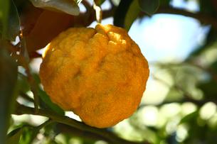 大きなユズ 鬼柚子の写真素材 [FYI01467894]