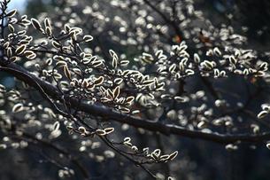 ハクモクレンの冬芽の写真素材 [FYI01467962]