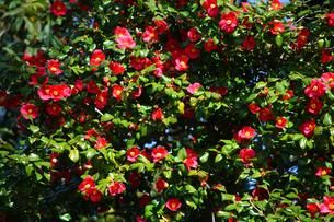 椿 薮椿の写真素材 [FYI01468509]