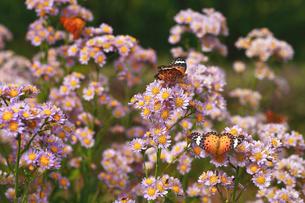シオンと蝶の写真素材 [FYI01468876]