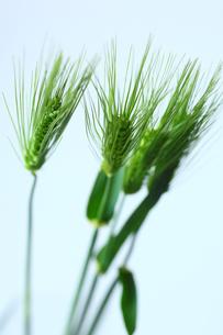 麦の穂の写真素材 [FYI01469206]