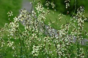 ハーブ ロケットの花の写真素材 [FYI01469308]