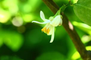 グレープフルーツの花の写真素材 [FYI01469327]