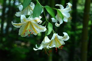林道に咲くヤマユリの写真素材 [FYI01469360]