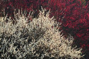 紅白梅の写真素材 [FYI01469427]