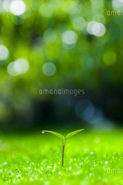 森の中の双葉の写真素材 [FYI01469453]