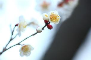 白梅 新冬至の写真素材 [FYI01470015]