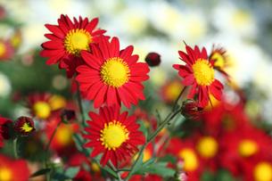 赤い小菊の写真素材 [FYI01470073]