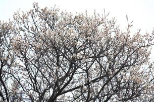 白梅 冬至梅の写真素材 [FYI01470201]