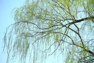 新緑のヤナギの写真素材 [FYI01470252]