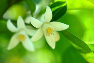 ユズの花の写真素材 [FYI01470301]