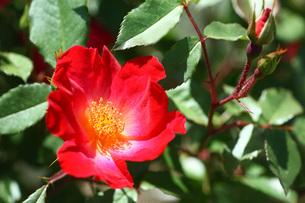 赤と黄色のバラの写真素材 [FYI01470401]