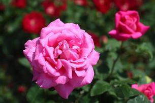 ピンク色のバラの写真素材 [FYI01470407]