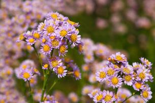 シオンの花の写真素材 [FYI01470438]