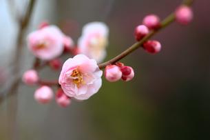 ピンク色の梅 見驚の写真素材 [FYI01470445]