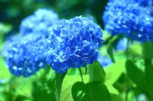 青いアジサイの写真素材 [FYI01470466]
