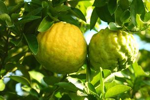 獅子柚の写真素材 [FYI01470530]